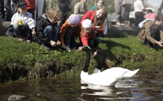 Лебеди в парке Горького